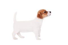 Поднимите щенка домкратом Рассела (1,5 месяцев старых) на белизне Стоковые Изображения