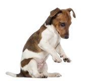Поднимите щенка домкратом терьера Рассела на задних ногах (3 месяца старого) Стоковое фото RF