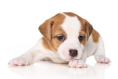 поднимите terrier домкратом russell щенка Стоковое Фото