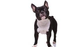 Полное изображение тела милого положения щенка французского бульдога Стоковые Изображения RF