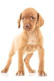 Полное изображение тела положения собаки щенка viszla Стоковая Фотография RF