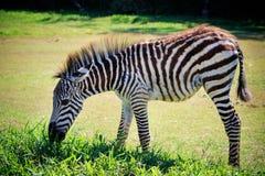 Полное тело и показанная красивая нашивка молодого зеленого цвета еды зебры Стоковая Фотография RF
