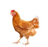 Полное тело коричневого положения курицы цыпленка изолировало белое backgroun