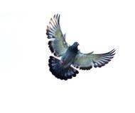 Полное тело самонаводя птицы голубя завиша изолированное белое backgrou Стоковая Фотография