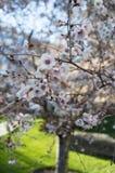 Полное цветение дерева цветка Сакуры или вишневого цвета sunlit Стоковое Изображение