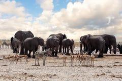 Полное waterhole с слонами Стоковая Фотография RF