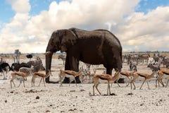 Полное waterhole с слонами Стоковое Изображение RF