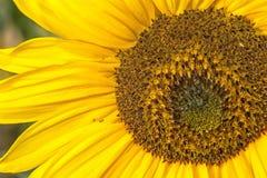 полностью изображение большой детали зон полное внутреннее смотрящ не принятый солнцецвет семян было Стоковые Фотографии RF