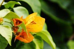 полностью красивейший цветок bouganvilla свои бумажные тернии Стоковое Изображение RF