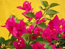 полностью красивейший цветок bouganvilla свои бумажные тернии Стоковое Изображение
