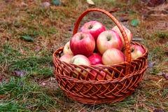 полностью красный цвет корзины предпосылки яблок яблока большой затем один к белизне Стоковое Фото