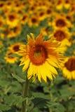 Солнцецветы, Андалусия, Испания. стоковая фотография