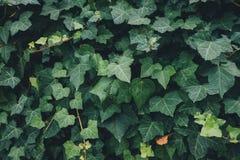 Полные листья плюща рамки стоковые изображения rf