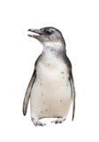 Полный портрет тела пингвина jackass изолированный на белизне Стоковые Фото