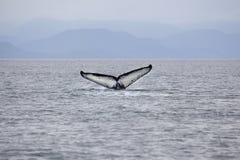 Подныривание горбатого кита в Аляске с показом кабеля Стоковое Изображение