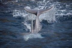 Подныривание дельфина в голубой морской воде Стоковое Изображение RF