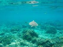Подныривание морской черепахи над seabottom Зеленая черепаха в морской воде Стоковое Изображение RF