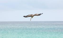 Подныривание пеликана, острова Галапагос Стоковое Изображение