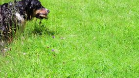 Подныривание собаки после камня Смешная собака ищет для утеса который ход предпринимателя в озере Собака ныряет со своей головой  акции видеоматериалы