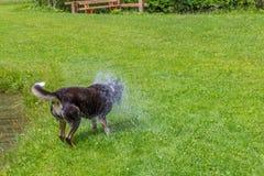 Подныривание собаки после камня Смешная собака ищет для утеса который o Стоковые Фотографии RF