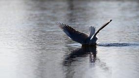Подныривание чайки для еды Стоковое Фото