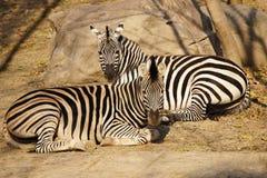 2 полных зебры сидя в Солнце Стоковая Фотография