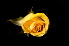 поднял желтый цвет Стоковая Фотография RF