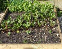 Поднятая кровать вполне различных vegatable саженцев Стоковые Фото