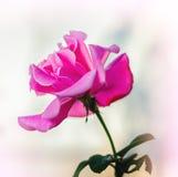 Подняла мягко розовая нерезкость Стоковые Фото