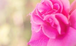 Подняла мягко розовая нерезкость Стоковое Изображение