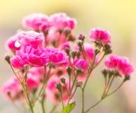 Подняла мягко розовая нерезкость Стоковое Изображение RF
