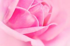 Подняла мягко розовая нерезкость Стоковое фото RF