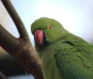 Подняла окружённая голова длиннохвостого попугая стоковое фото rf