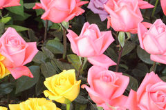 Подняла, розовая предпосылка Стоковые Фотографии RF