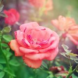 Подняла флористическая предпосылка стоковая фотография
