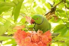 Поднял - лепестки цветка окружённой птицы длиннохвостого попугая earting Стоковые Изображения