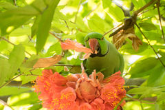 Поднял - лепестки цветка окружённой птицы длиннохвостого попугая earting Стоковое Изображение