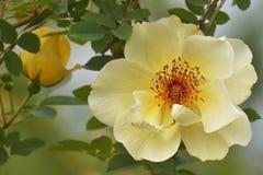 Поднял, желтый цветок Стоковые Изображения RF