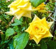 поднял желтый цвет Розы кустарника blossoming в саде лета Стоковые Изображения