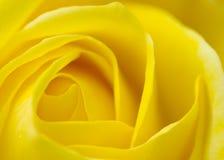 поднял желтый цвет Стоковое Изображение