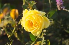 поднял желтый цвет Стоковое Изображение RF