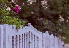 Поднял зацветающ в дворе Стоковое Фото