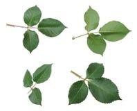 Подняли листья Стоковые Изображения RF