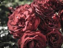 Подняли красные цветеня на зеленой солнечной предпосылке Розы для букета карточка предпосылки цветет сеть сбора винограда шаблона Стоковое Изображение