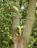 Подняли окружённые длиннохвостые попугаи на гнезде дерева Стоковые Изображения