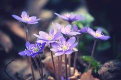 Подняли предыдущие цветки весны Стоковые Фото