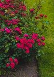 Подняли, розы кустарника, цветки Стоковая Фотография RF