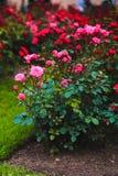 Подняли, розы кустарника, цветки Стоковые Изображения