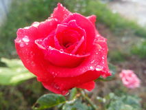 Поднял красный цвет Стоковая Фотография RF