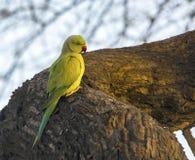 Поднял окружённый длиннохвостый попугай (ожереловый попугай Krameri) Стоковое Изображение RF